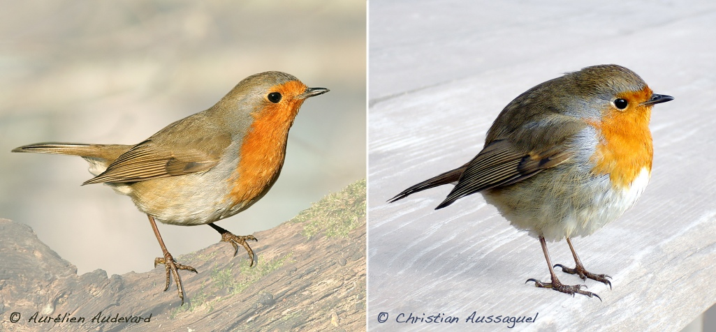 Rougegorge familier - European Robin - Erithacus rubecula